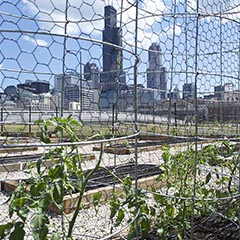 Tomato plants are growing within metal guiding posts at the UIC Urban Garden, with a view of the Chicago skyline in the background.