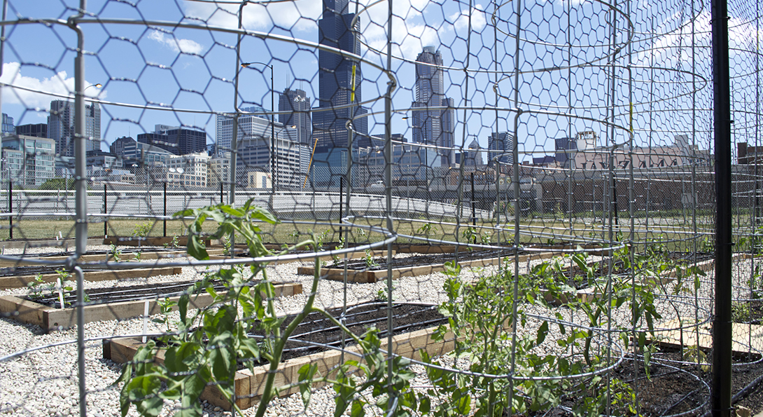 Tomato plants are growing in a plot of soil in the urban garden at UIC, with the Chicago skyline in the background.